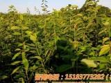 美国车厘子树苗,车厘子苗种植,车厘子品种