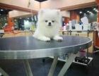 杭州本地出售纯种博美犬 品质保障 品种多多 价格便宜欢迎挑选