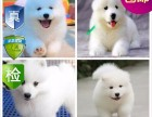 重庆纯种萨摩耶幼犬出售 品相端正 签协议 保健康