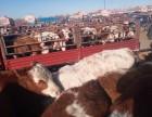 西门塔尔牛犊/肉牛犊价格质量优