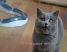 年前特惠- 蓝猫 蓝白 乳白 DD找新家 种公首选