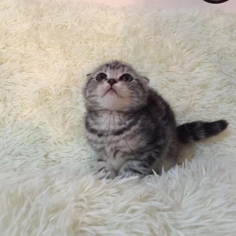 折耳猫 美短猫 虎斑猫 欢迎上门