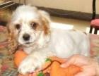 纯种带证英国可卡犬出售支持来犬舍选购支持送货上门