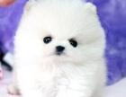 出售纯种 长不大的博美犬 哈多利博美犬 保证健康
