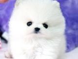 杭州精品宠物繁殖基地长期出售博美幼犬 保证品质健康