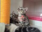 成都哪里有卖美短宠物猫 纯种美短价格