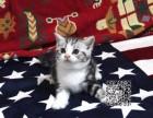西双版纳出售纯种美短猫自家繁殖,品质保证,健康纯种