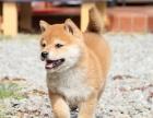 上海哪里卖柴犬幼犬上海日系柴犬多少钱一只柴犬图片柴犬好养吗