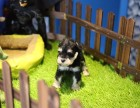 扬州哪里有宠物狗卖小体雪纳瑞纯种雪纳瑞幼犬