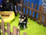 芜湖哪里有宠物狗卖 小体雪纳瑞纯种雪纳瑞幼犬