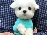 本溪宠物繁殖基地长期出售博美幼犬 保证品质健康