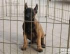 西宁-高品质马犬带血统出售中 终身质保 质量三包可签协议
