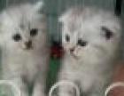 可爱机灵的折耳猫猫,强健的骨骼,大眼萌,可来看猫