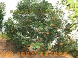 广西藤县大果红花油茶树苗价格及规格分类 油茶嫁接苗实生苗种子