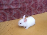 出售个人繁殖的宠物兔