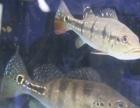 出售蓝帆5间 帝王三间 2条观赏鱼