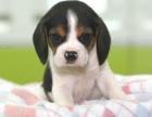 上海本地犬舍繁殖纯种宠物狗,比格犬,质保三个月