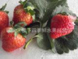 优质大棚草莓大量上市(甜宝、丰香)