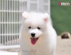 实名商家——实体狗场——真实连拍—— 萨摩耶 犬