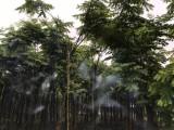 供应栾树成都栾树批量供应截干1-2年冒树树型好杆直