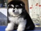 重庆可爱雪橇犬阿拉斯加,充满活力,傲娇可爱,对主人忠心