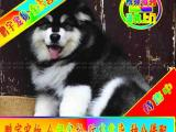 自家狗场繁殖 品质健康有保障 纯种阿拉斯加犬签协议