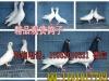 出售白羽王肉鸽,观赏