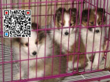哪里出售喜乐蒂犬 纯种喜乐蒂犬多少钱