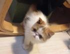 大眼圆脸加菲猫