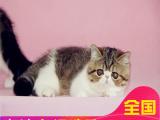 里有加菲买双证纯种加菲猫水滴眼鼻一线疫苗齐全