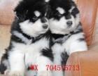 专业繁殖/高品质阿拉斯加幼犬出售/纯血统/包健康