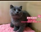 超胖胖可爱的蓝猫小弟弟--《思晴名猫坊》