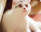 养殖场低价出售折耳猫保健康包疫苗驱虫购买签协议