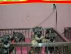 精品雪纳瑞幼犬/犬舍繁殖/签订协议/质保三年
