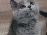 英短蓝猫蓝白折耳美短加白多只低价转让