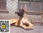 哪里有卖大丹犬大丹犬多少钱大丹犬图片大丹犬幼犬