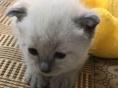 暹罗猫出售邯郸地区