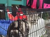 忍痛出自养纯种美短加白虎斑成年公猫已绝育