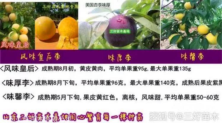 恐龙蛋李子苗品种图文介绍李子苗种植当年管理