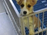 惠州什么地方有狗场卖柯基犬/哪里有卖柯基犬
