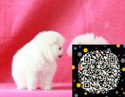 自家狗场繁殖出售顶级博美犬可多只挑选 白色黄色都有