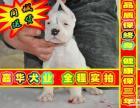 签订活体协议 杜高幼犬 正规狗场 实物拍摄可刷卡送货