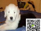 凉赛级双纯血统白头通背古牧幼犬销售免疫齐全包