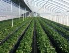 2017烟台农科院草莓示范基地草莓采摘开始了