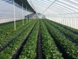 2020年西周农场农家乐草莓采摘