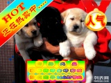 超精品拉布拉多犬疯狂热卖中 特价质保三年 签订活体协议