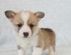 上海出售纯种柯基幼犬威尔士短腿双色三色柯基犬小