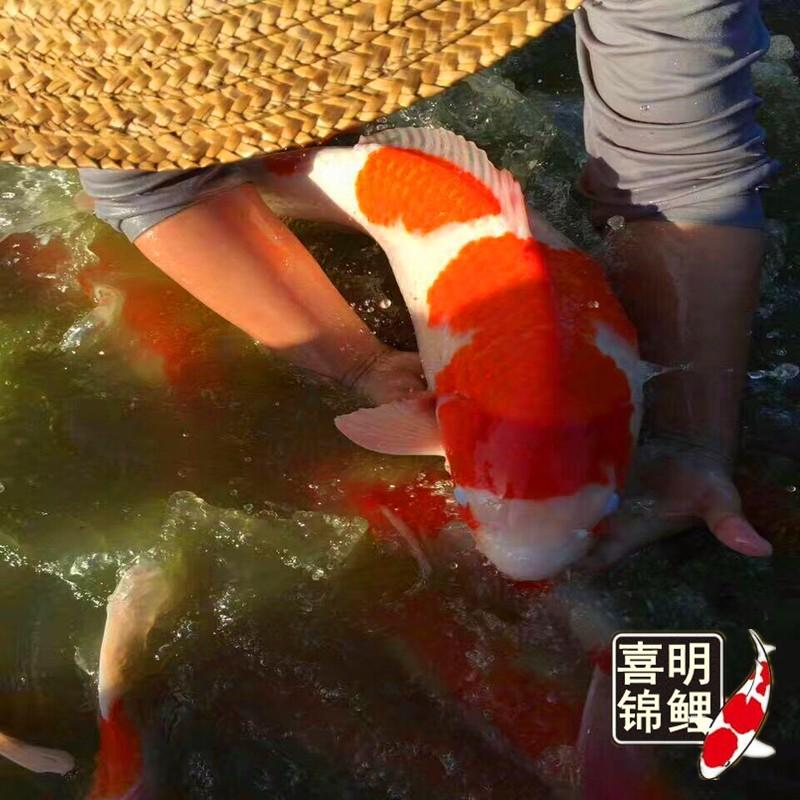 2018年春季高品种金鱼锦鲤水花苗种批发预订中