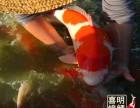 观赏鱼金鱼锦鲤红鲫鱼鱼苗水花苗种大量批发预订中
