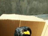 转让一批今年正宗头窝越南鹩哥雏鸟,活泼漂亮